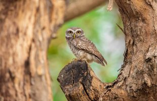 spotted-owlet-5093773_1280