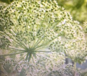Engelwortelplant , een schermbloemige